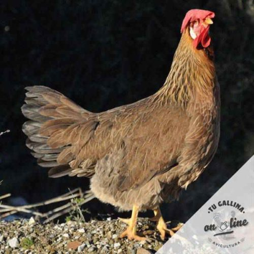 tu-gallina-on-line-leghorn-ducking-dorado-3