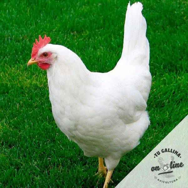Vista de la gallina Leghorn