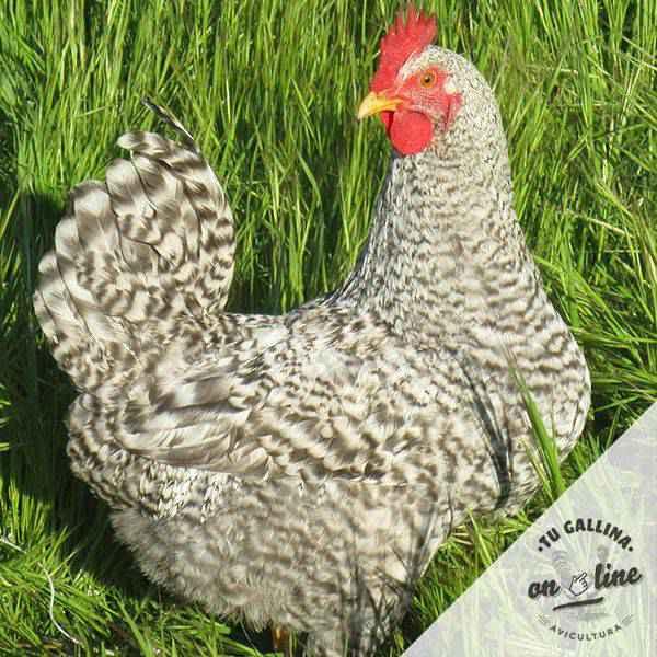 Vista de un gallo: Barrada.