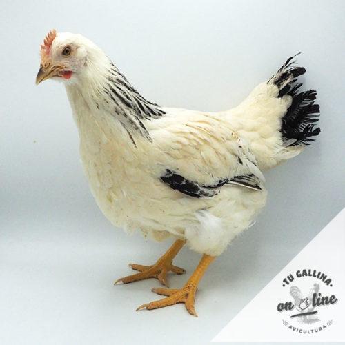 Vista de una gallina Armiñada Sussex: Tu Gallina Online.