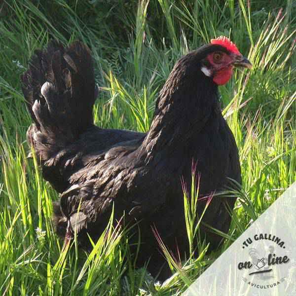 Vista de una gallina: Castellana HF