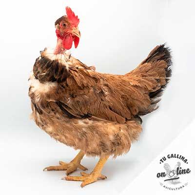 Vista de una gallina: Cuello pelado