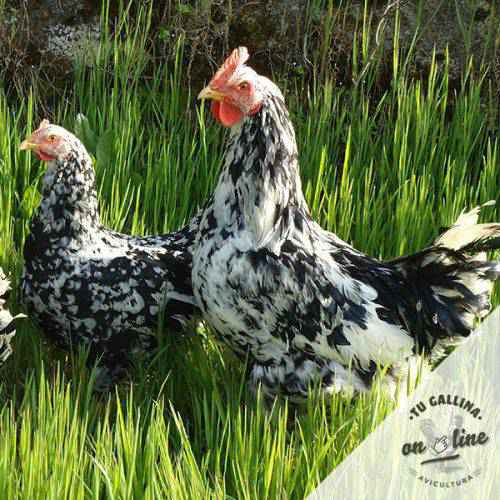 Huevos fértiles gallina pita pinta asturiana