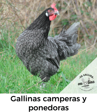 Vista de una gallina campera.