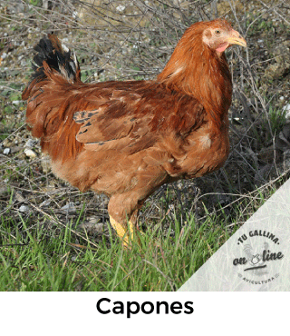 Vista de una gallina: Capones.