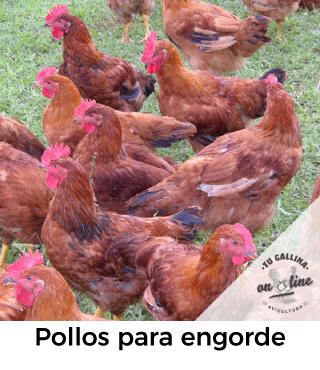 Vista de pollos de engorde.