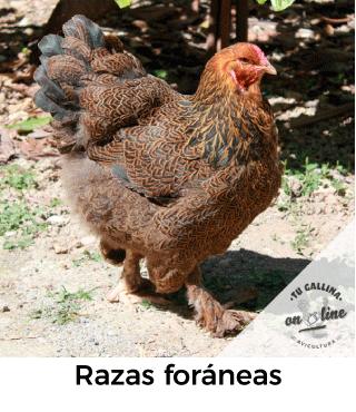 Vista de una gallina: Foránea.