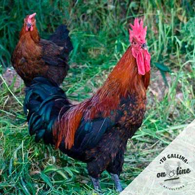 Vista de una gallina: Marans HF