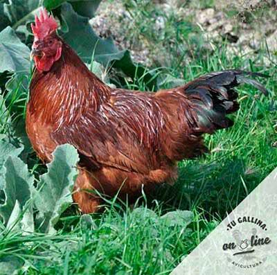Vista de una gallina: Rhode Island