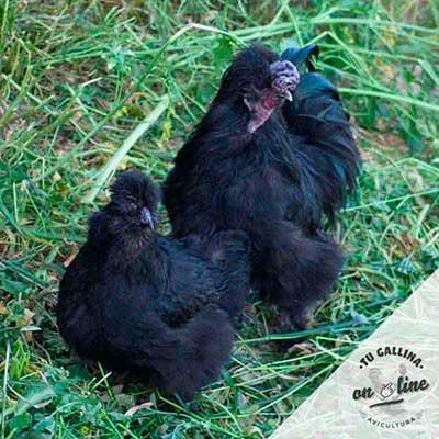 Vista de una gallina: Sedosa