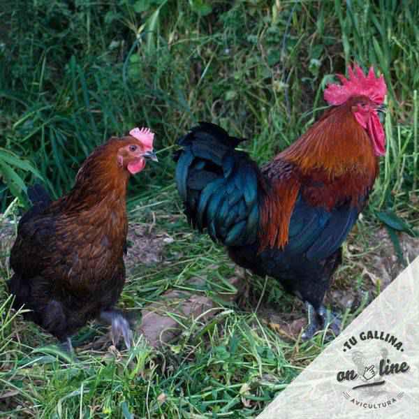 Vista de un par de gallinas: Marans.