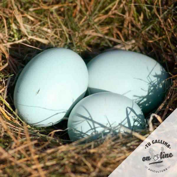 Vista de huevos de la gallina: Araucana.