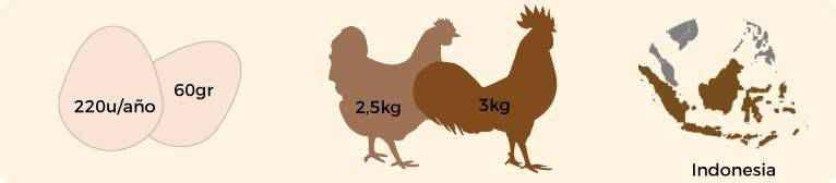 plantilla-carasteristica-ayam-cemani