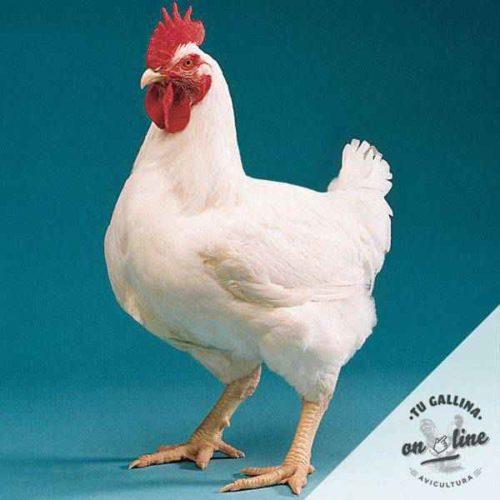 Pollos de engorde broiler