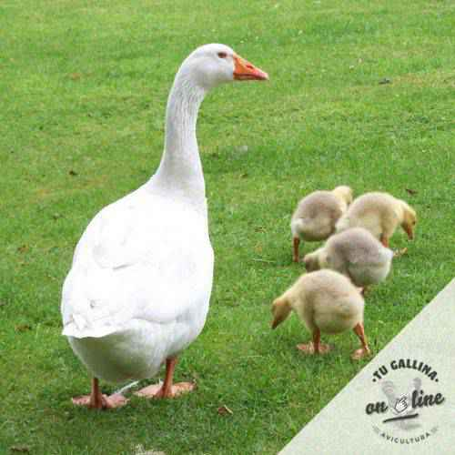 Foto de una de nuestras ocas y sus pollitos