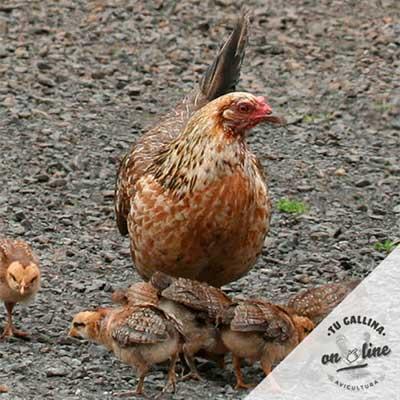 Vista de una gallina: Americana Enana