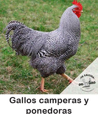 Vista de un gallo campero.