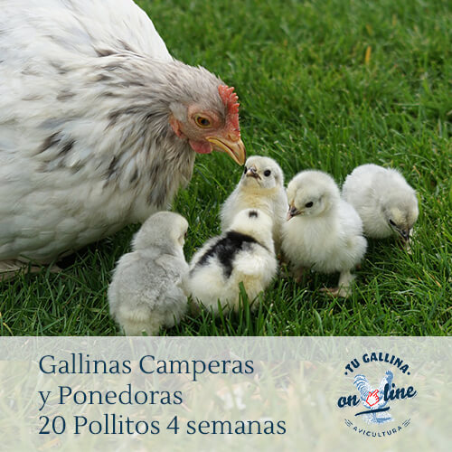 Packs 20 pollitos de 4 semanas: Gallinas camperas y ponedoras.