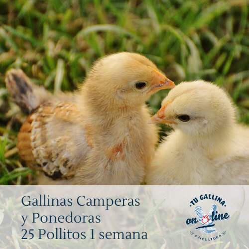 Packs 25 pollitos de 1 semana: Gallinas camperas y ponedoras.