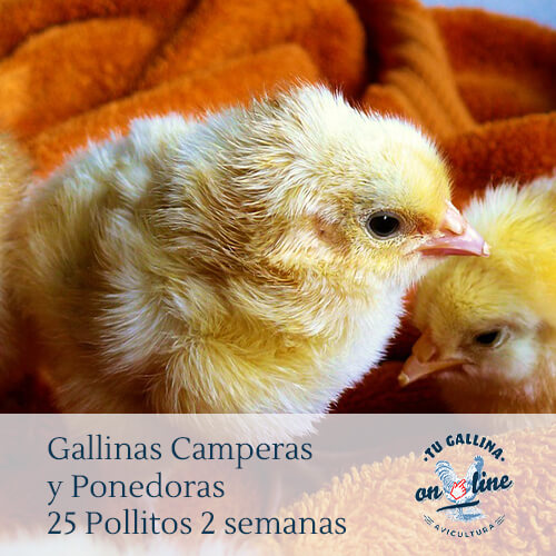 Packs 25 pollitos de 2 semanas: Gallinas camperas y ponedoras.