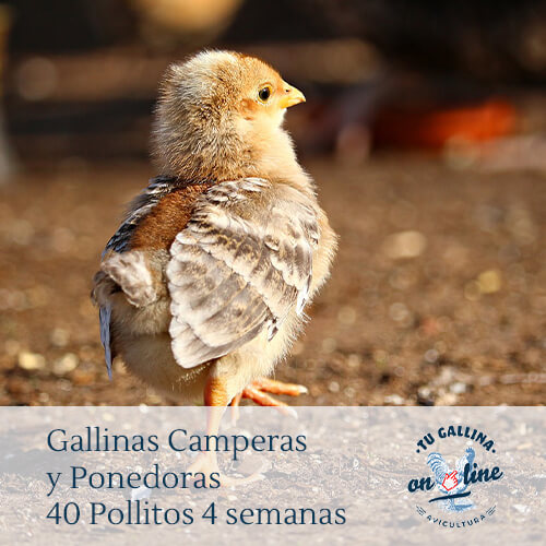 Packs 40 pollitos de 4 semanas: Gallinas camperas y ponedoras.