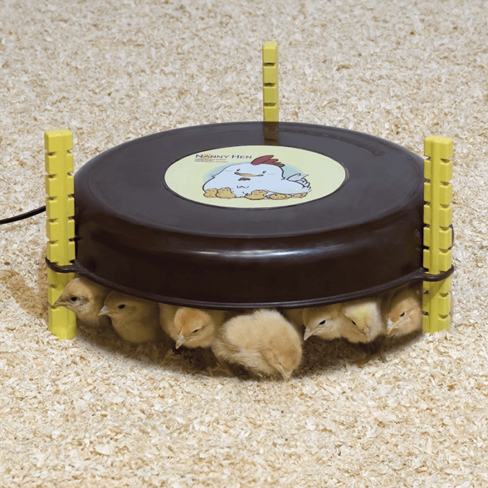 pollitos bajo calefactor de pollitos